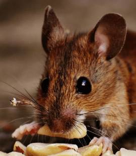 Seattle Rodent Control - Croach - Seattle, WA - Brown mouse eating peanut