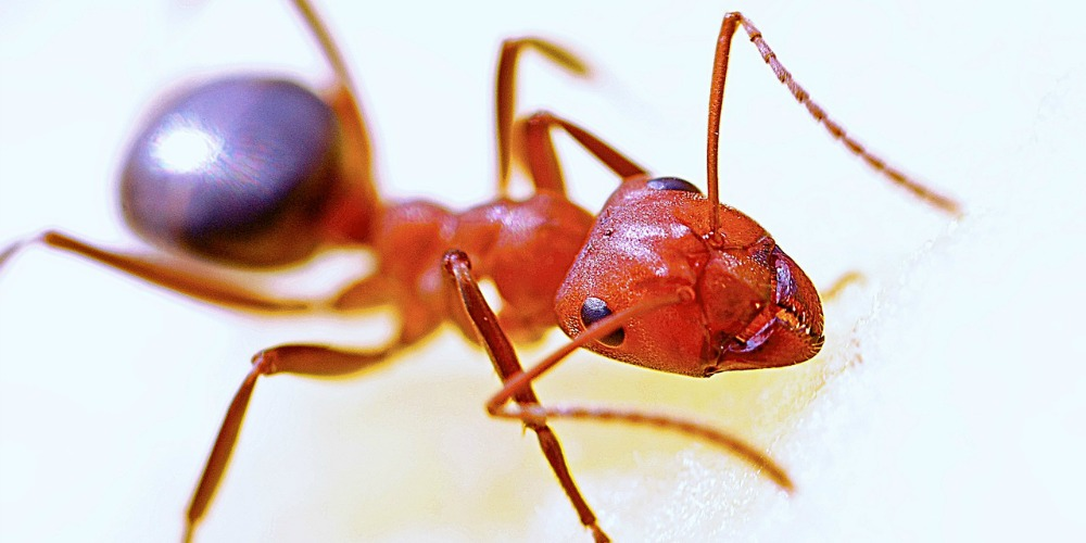 Croach Ant Control - Kirkland, WA - Fire Ant - Allegheny Mound Ant - Red with Black Abdomen