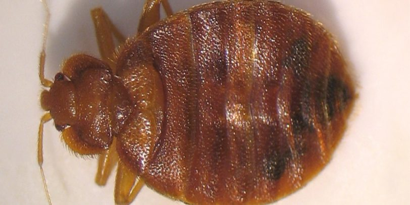 Bed Bugs Pest Control - Croach - Kirkland, WA - Close up of bed bug
