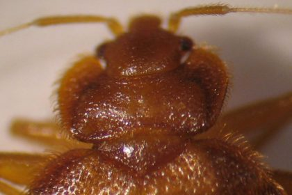 Pest Control - Croach - Kirkland, WA - Close up of bed bug head