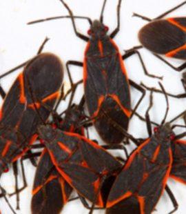 Pest Control - Croach - Kirkland, WA - Boxelder Bugs on White Background