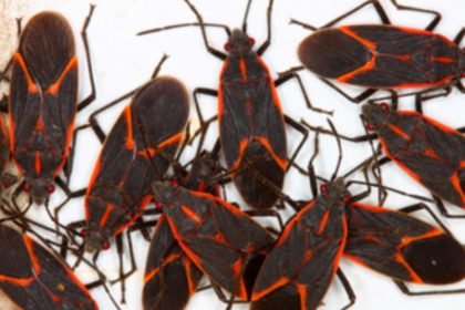 Pest Control - Croach - Kirkland, WA - Boxelder Bugs on White Background
