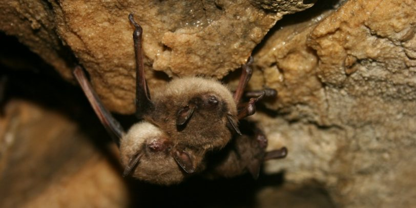 Pest Control - Croach - Kirkland, WA - Brown Bats in Cave