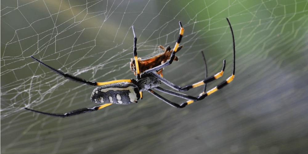 Spider Pest Control - Croach - Kirkland, WA - Black Yellow Red Spider in Web