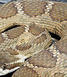 Northern Pacific Rattlesnake - Washington - Croach Pest Control - Venomous Snakes