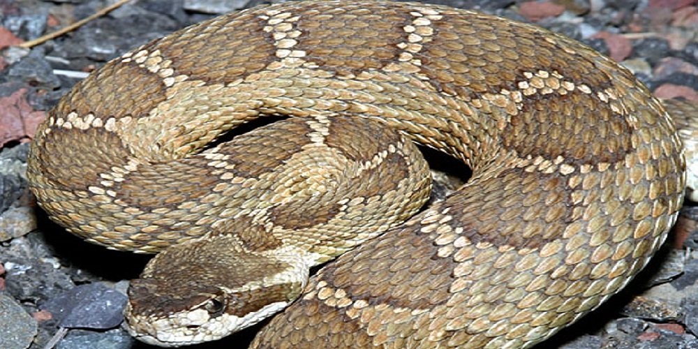 Northern Pacific Rattlesnake - Washington - Croach Pest Control - Venomous Snakes