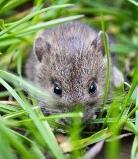 Pest Control - Croach - Kirkland, WA - Fall Pests - Field Mouse