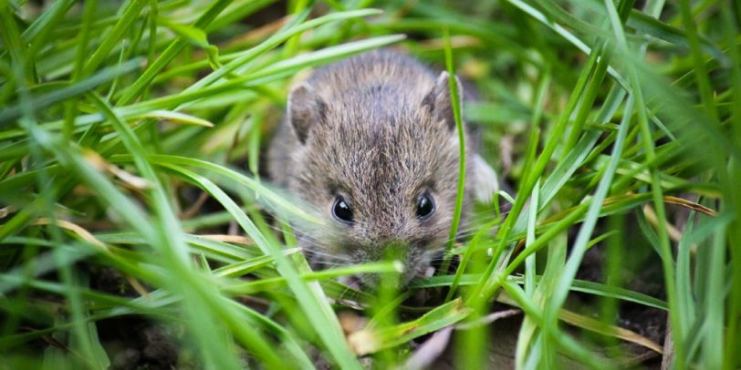 Pest Control - Croach - Kirkland, WA - Fall Pests - Field Mouse