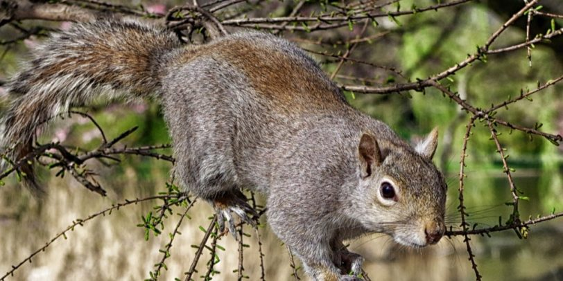 Rodent Control - Croach - Kirkland, WA - Squirrels - Gray squirrel in tree