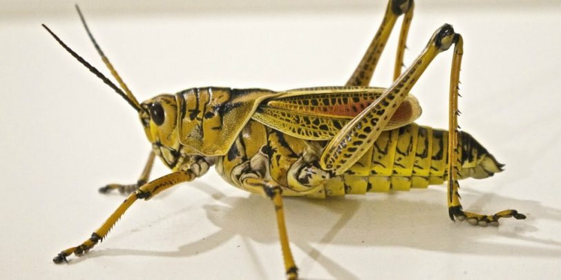 Pest Control Treatment- Croach - Kirkland, WA - Closeup of Locust
