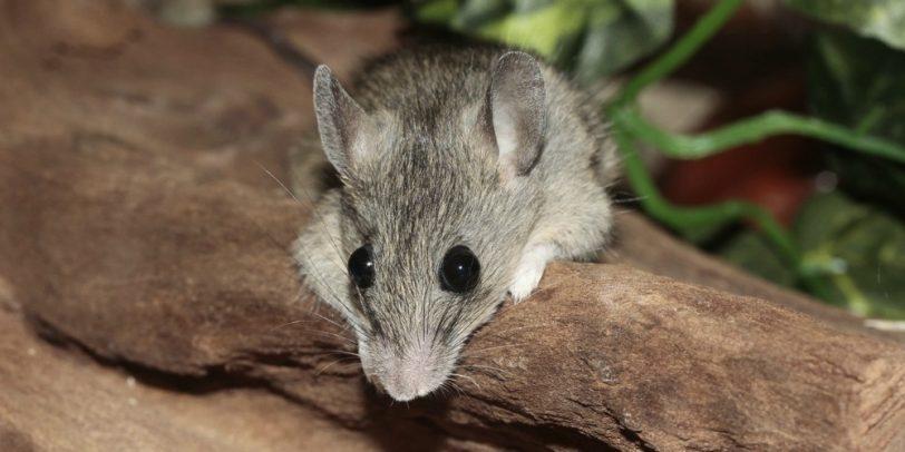 Mouse Control - Croach - Kirkland, WA - Gray Mouse on log