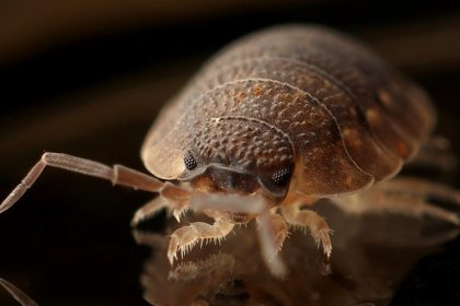 Pest Control - Croach - Kirkland, WA - Bed Bug