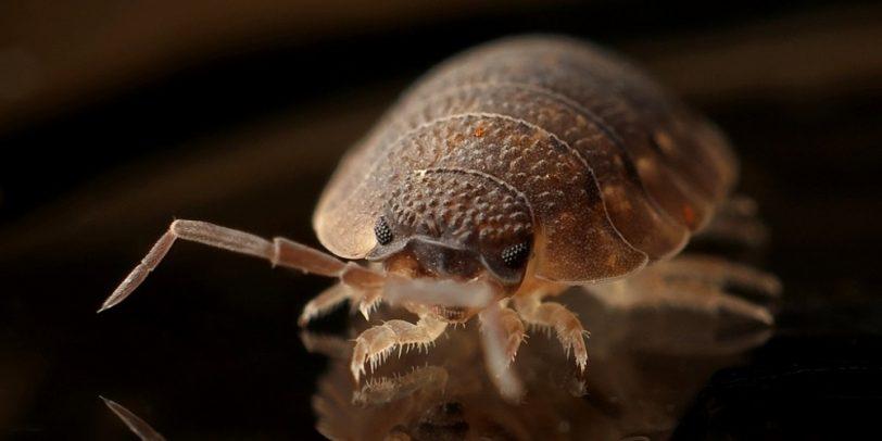Pest Control - Croach - Kirkland, WA - Bed Bug