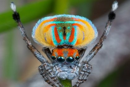 Peacock Spider - Croach Spider Control