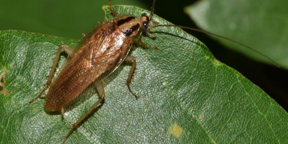 Pest Control - Croach - Kirkland, WA - Spring Time Pests - Cockroach on green leaf