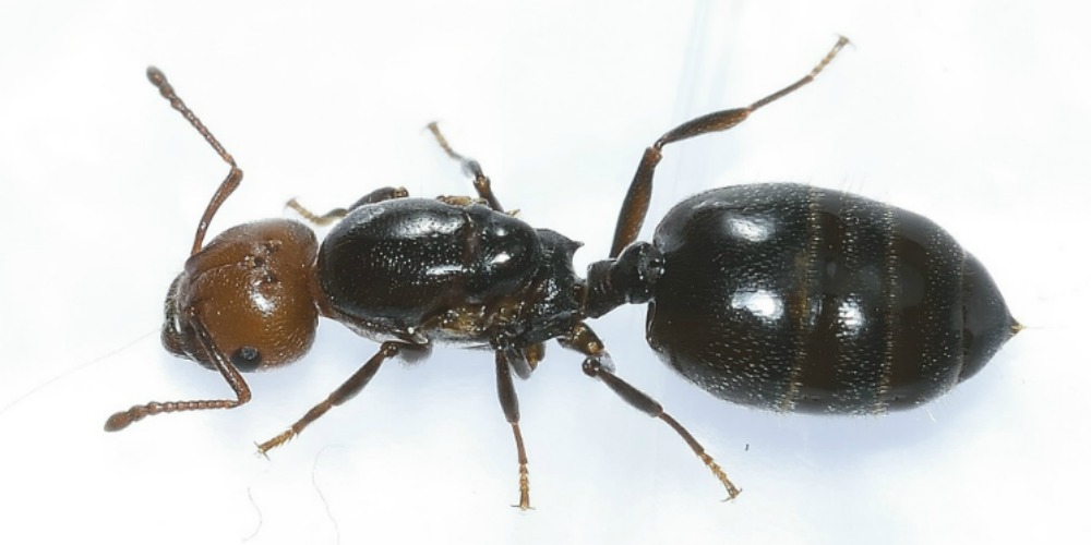 Ant Control - Croach - Kirkland, WA - Ant Colony Worker Ant