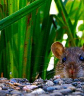 Rodent Control - Croach - Kirkland, WA - Brown Mouse - Mice in tall grass
