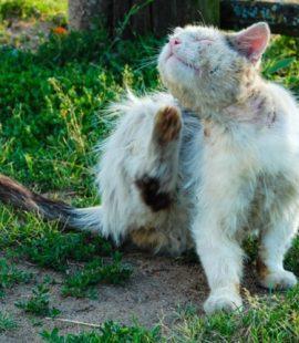 Flea Control - Croach - Kirkland, WA - Flea Infestations - White Cat Scratching Himself