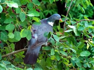 Natural Garden Pest Control Ideas - Croach - Kirkland, WA - Bird on Berry Bush