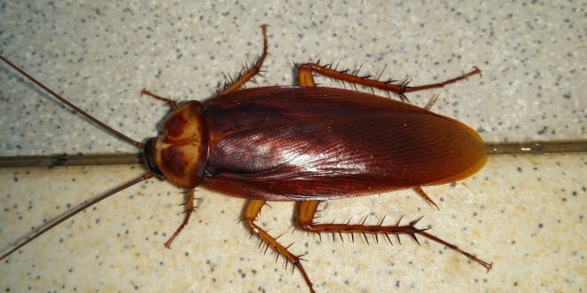 Pest Control for Roaches - Croach - Kirkland, WA - Close up of Cockroach on Counter