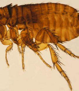 Pest Control for Flea Infestation - Croach - Kirkland, WA - Closeup of flea