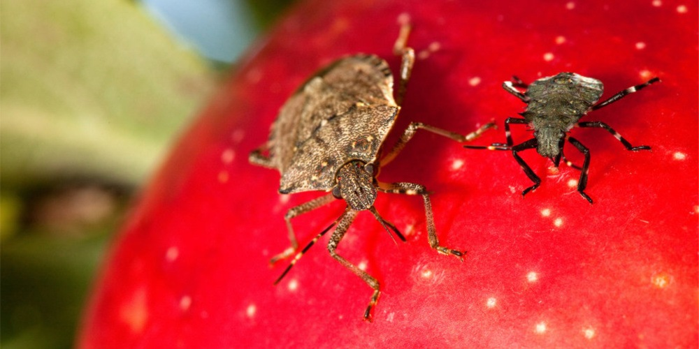 Stink Bug Control - Croach - Kirkland, WA - Stink Bugs on Red Fruit