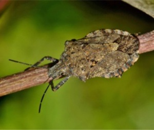 Stink Bug Control - Croach - Seattle, WA - Stink bug on stick