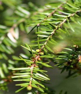 Hemlock Trees Targeted by Hemlock Woolly Adelgid - Eastern United States - Croach Pest Control 1000x500