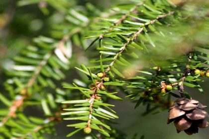 Hemlock Trees Targeted by Hemlock Woolly Adelgid - Eastern United States - Croach Pest Control 1000x500