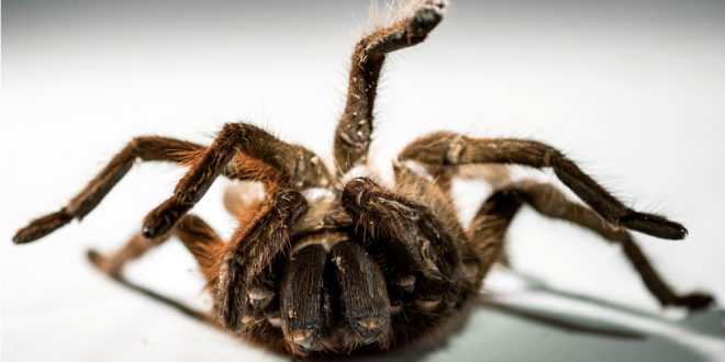 Pest Control Nightmares - Croach - Kirkland, WA - Goliath Bird-eater Tarantula