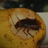Cockroach Control - Portland, OR - Croach Pest Control