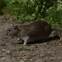 Norway rat in Vancouver, WA - Croach Pest Control