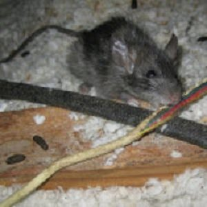 Seattle Rodent Control - Portland, OR - Croach Rats & Mice Exterminators