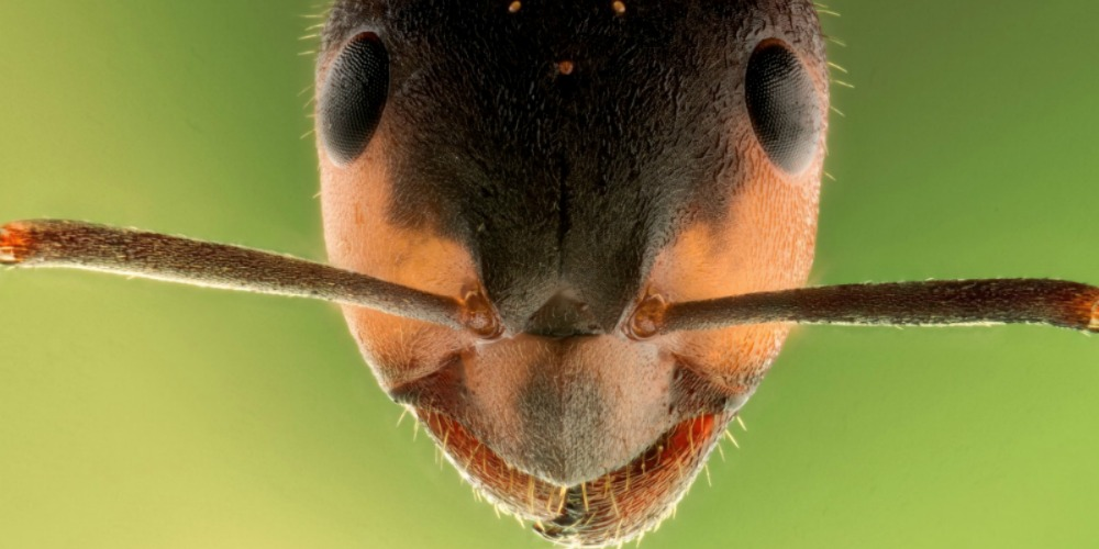 Ant Control - Croach - Kirkland, WA - Ant Facts and Trivia - Ant Face Closeup