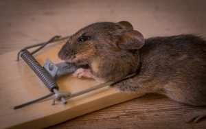 Rodent Control - Croach - Kirkland, WA - Rodent Prevention Checklist - Mouse caught in mousetrap
