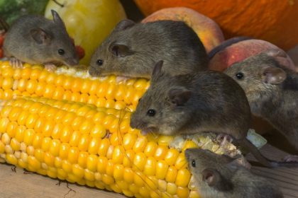 Rodent Prevention Checklist - Croach - Kirkland, WA - Mice eating corn cobs
