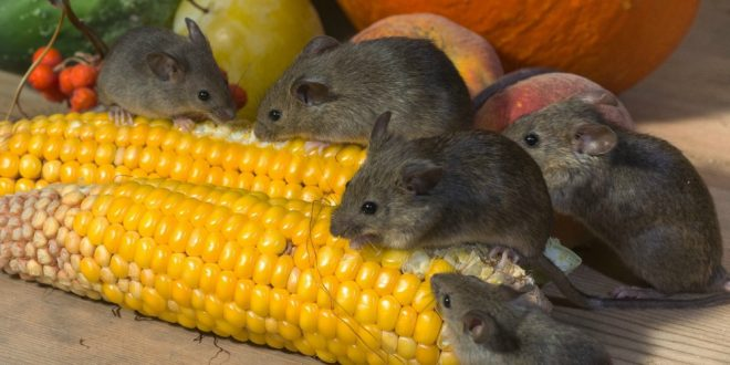 Rodent Prevention Checklist - Croach - Kirkland, WA - Mice eating corn cobs