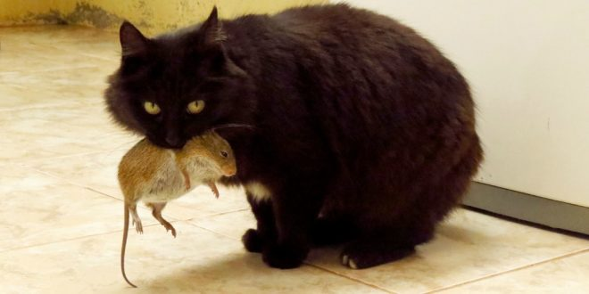 Pest Extermination - Croach Pest Control - Kirkland, WA - Black cat with brown mouse in his mouth