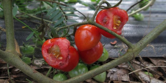 Garden Tomato Pests - How to Identify, Prevent, Eliminate - Croach 1000x500