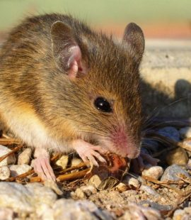 Arizona Mouse Control - Croach - Kirkland, WA - Rodents in the House - Brown mouse eating nut
