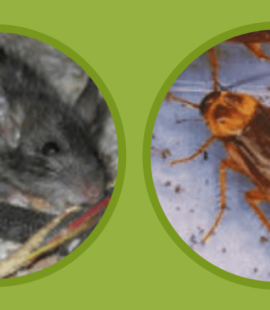 Mice and Cockroaches - Pest Control - Croach - Denver, CO