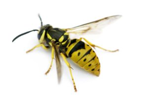 Yellow Jacket - Bee Removal and Control - Portland, OR - Croach