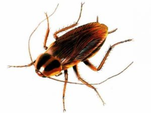 Pest Removal Phoenix AZ - Croach - Cockroach Infestation