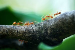 Ant Control - Croach - Kirkland, WA - Types of Ants - Citronella Ant