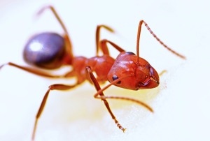 Ant Control - Croach - Portland, Oregon - Fire Ants