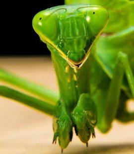 Croach Pest Control - Kirkland, WA - Green Praying Mantis