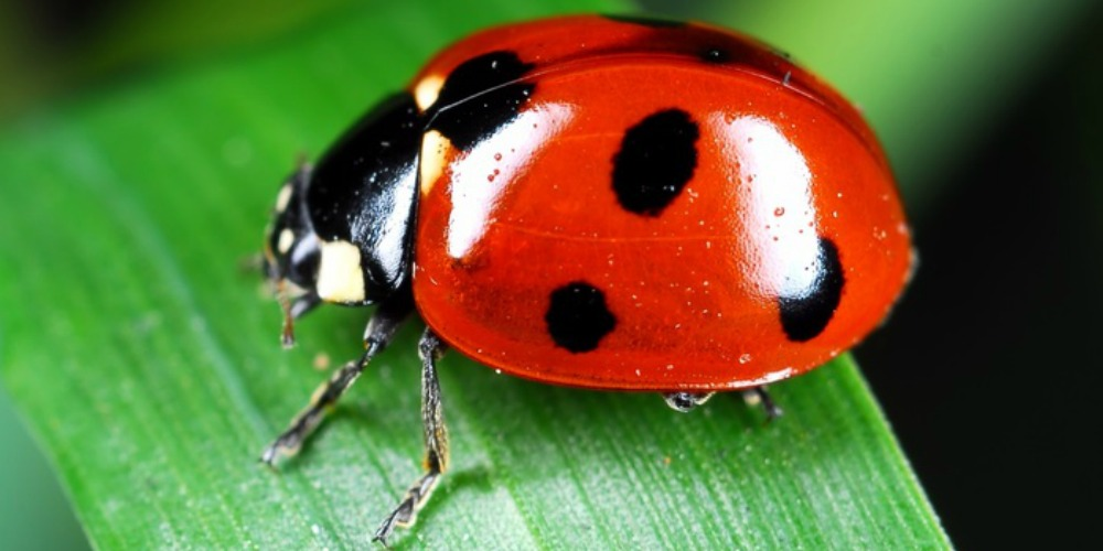 Pest Control - Croach - Kirkland, WA - Beneficial Bugs - Ladybug on leaf