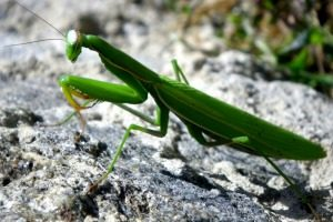 Pest Control - Croach - Seattle, WA - Beneficial Bugs - Green Praying Mantis