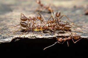 Pest Control - Croach - Seattle, WA - Types of Ants - Pavement Ants