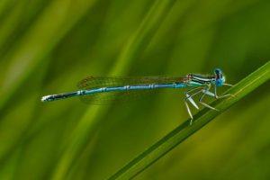 Dragonfly Facts - Croach - Kirkland, WA - White-Legged-Damselfly